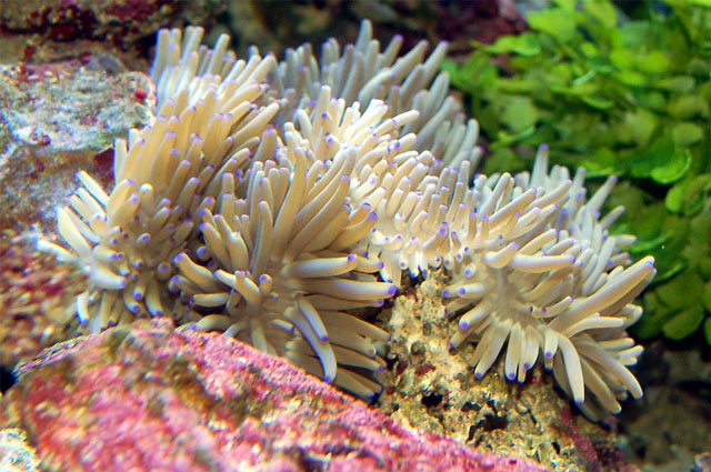 Sea of Clownfish and Anemones | QR Translator